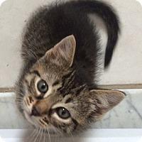 Adopt A Pet :: 7 week tiger stripe M kitten - Manasquan, NJ