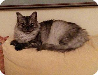 Domestic Longhair Cat for adoption in Sunderland, Ontario - Peppy