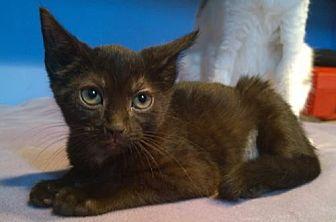 Domestic Shorthair Kitten for adoption in Columbus, Ohio - Wynne