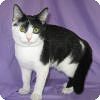 Domestic Shorthair Cat for adoption in Powell, Ohio - Lulu