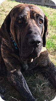 Fila Brasileiro Mix Dog for adoption in Killeen, Texas - Lola