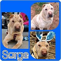 Adopt A Pet :: Sarge - Charlotte, NC