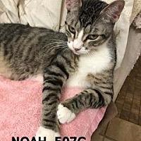 American Shorthair Cat for adoption in Spring, Texas - Noah