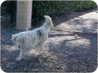 Australian Shepherd Dog for adoption in Mesa, Arizona - Anna