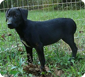 Labrador Retriever Mix Puppy for adoption in Plainfield, Connecticut - Monday ($275 fee)