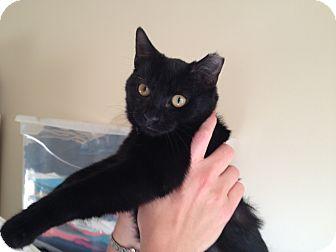 Domestic Shorthair Kitten for adoption in East Hanover, New Jersey - Sheba