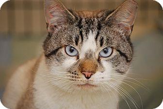 Siamese Cat for adoption in Trevose, Pennsylvania - Blu
