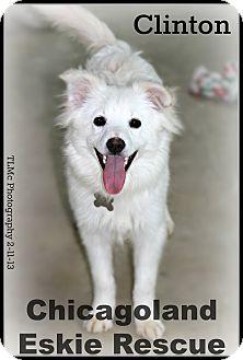 American Eskimo Dog Puppy for adoption in Elmhurst, Illinois - Clinton