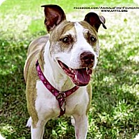 Adopt A Pet :: PEARL - Irving, TX