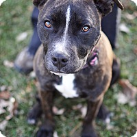 Adopt A Pet :: Shadow - Springfield, IL