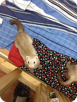 Ferret for adoption in Fawn Grove, Pennsylvania - Apollo