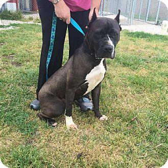 Cane Corso/Boxer Mix Dog for adoption in Williamsburg, Virginia - Luna