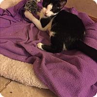 Adopt A Pet :: Fiona - Sterling Hgts, MI