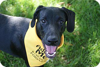 Labrador Retriever/Golden Retriever Mix Dog for adoption in Urbana, Ohio - Yankee Beatty