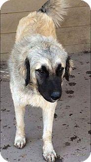 Anatolian Shepherd/Great Pyrenees Mix Dog for adoption in Kyle, Texas - Solomon