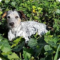 Adopt A Pet :: Ollie - San Antonio, TX
