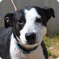 Adopt A Pet :: Wiggles - Auburn, MA