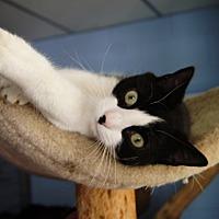 Adopt A Pet :: Tortilla - New Milford, CT