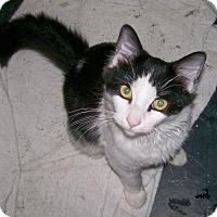 Adopt A Pet :: Manchas - Scottsdale, AZ