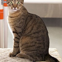 Domestic Shorthair Cat for adoption in St Louis, Missouri - Zachary