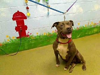 Staffordshire Bull Terrier Mix Dog for adoption in San Francisco, California - Princess