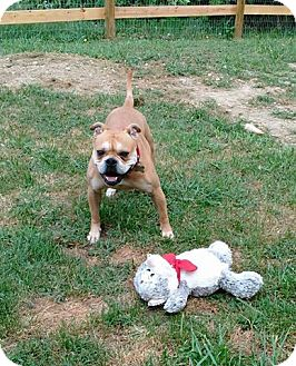 English Bulldog Mix Dog for adoption in Winchester, Virginia - Darla