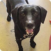 Adopt A Pet :: TRIXIE - Cadiz, OH