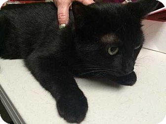 Domestic Shorthair Cat for adoption in Mackinaw, Illinois - Coco
