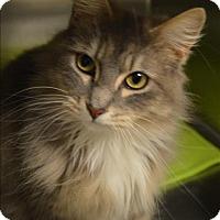 Adopt A Pet :: Sir Fluffy Pants - Sherwood, OR