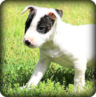 Bull Terrier/American Bulldog Mix Puppy for adoption in Glastonbury, Connecticut - Ethel~cute as a button~
