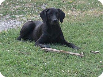 Weimaraner/Labrador Retriever Mix Dog for adoption in Conway, New Hampshire - Sam Hill