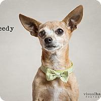 Adopt A Pet :: Speedy - Chandler, AZ