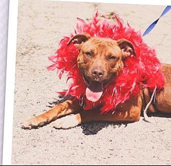 American Staffordshire Terrier/Rhodesian Ridgeback Mix Dog for adoption in Joliet, Illinois - Louise