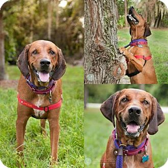 Redbone Coonhound/Coonhound Mix Dog for adoption in Clearwater, Florida - Mick