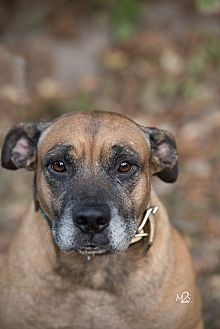 Boxer Mix Dog for adoption in Daleville, Alabama - Brownie