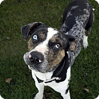 Catahoula Leopard Dog Mix Dog for adoption in Fremont, Nebraska - Paco