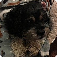 Shih Tzu/Schnauzer (Miniature) Mix Dog for adoption in Madison, Wisconsin - Toby:medical hold