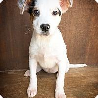 Adopt A Pet :: Amelia - Fredericksburg, TX