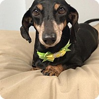 Adopt A Pet :: Princess - Weston, FL