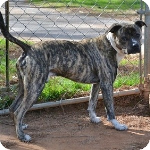 Boxer/American Bulldog Mix Dog for adoption in Athens, Georgia - Wiley