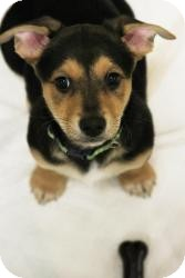 German Shepherd Dog/Basset Hound Mix Puppy for adoption in Alpharetta, Georgia - Ozzy Osborne