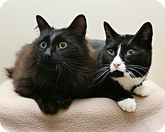 Domestic Shorthair Cat for adoption in Bellingham, Washington - Roger