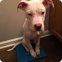 American Bulldog/Bulldog Mix Dog for adoption in Jacksonville Beach, Florida - Jax