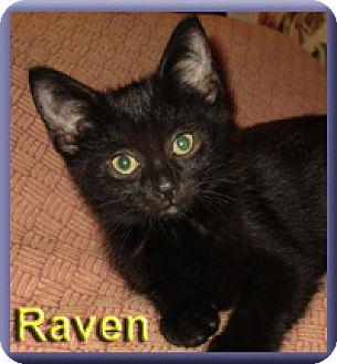 Domestic Shorthair Kitten for adoption in Aldie, Virginia - Raven
