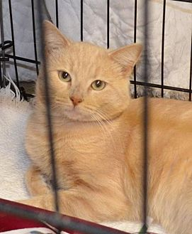 Domestic Shorthair Cat for adoption in Trenton, Missouri - Rover