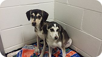 Hound (Unknown Type)/Beagle Mix Puppy for adoption in Barnwell, South Carolina - Sally