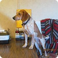 Beagle Dog for adoption in Staunton, Virginia - Cletus
