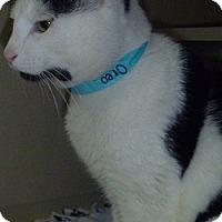 Adopt A Pet :: Oreo - Hamburg, NY