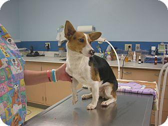 Corgi Mix Dog for adoption in Inola, Oklahoma - Savanah
