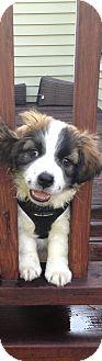 Terrier (Unknown Type, Medium) Mix Puppy for adoption in bridgeport, Connecticut - Barney
